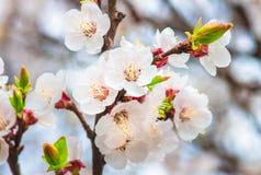 Delikatni kwiaty i młodzi liście morelowy drewno Zdjęcie Royalty Free