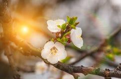 Delikatni kwiaty i młodzi liście morelowy drewno Zdjęcia Stock