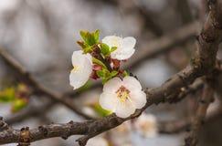 Delikatni kwiaty i młodzi liście morelowy drewno Zdjęcia Royalty Free