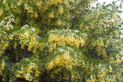 Delikatni kwiaty lipowy drzewo wśród luksusowego jaskrawego greenery pod t Obrazy Stock