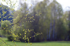 Delikatni liście, pączki i gałąź pierwszy wiosny, Zdjęcie Royalty Free