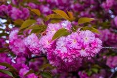 Delikatni menchia kwiaty kwitnęli Japońskiego czereśniowego drzewa Obrazy Royalty Free