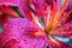 Delikatni płatki leluja z kroplami woda po deszczu zdjęcia royalty free