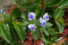 Delikatni purpurowi kwiatonośni pansies Obraz Stock