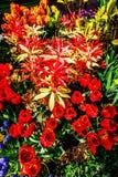 Delikatni tulipany w wiośnie zdjęcia royalty free