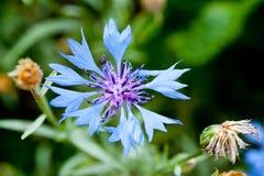 Delikatnie błękitny kwiat strzelał zakończenie przeciw tłu zielona trawa Obraz Royalty Free