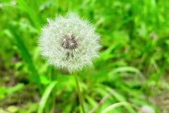 Delikatnie białego kwiatu dandelion na zielonym tle, pojęcie o Obraz Stock