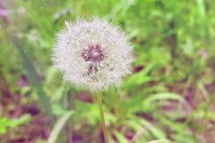 Delikatnie białego kwiatu dandelion na zielonym tle, pojęcie o Fotografia Royalty Free