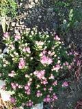 Delikatnie menchia kwiaty fotografia stock