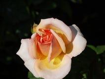 Delikatnie menchii róża Obraz Stock
