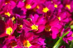 Delikatnie piękni kwiaty purpurowi Zdjęcia Royalty Free