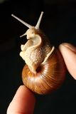delikatność ślimaczek francuski ogrodowy Fotografia Stock