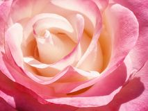 Delikatny śmietanek menchii róży kwiat Obraz Royalty Free