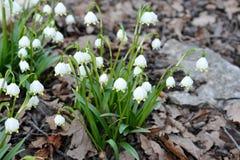 Delikatny śnieżyczka kwiat zdjęcie stock