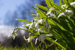 Delikatny śnieżyczka kwiat jest jeden wiosna symbole obrazy royalty free