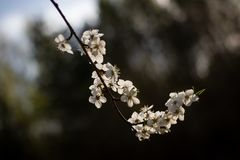 Delikatny biały Sakura kwitnie w jaskrawym backlight zdjęcia royalty free