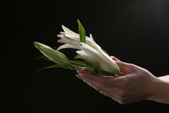 Delikatny białej lelui kwiat Obraz Royalty Free