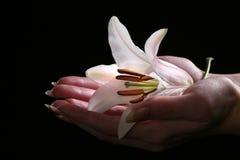 Delikatny białej lelui kwiat Fotografia Royalty Free