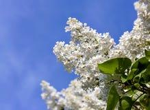 Delikatny biały bez na tle niebieskie niebo Zdjęcia Stock