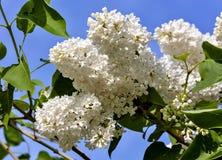 Delikatny biały bez na tle niebieskie niebo Zdjęcie Stock