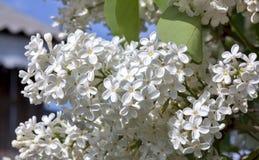 Delikatny biały bez na zamazanym natury tle Zdjęcie Stock