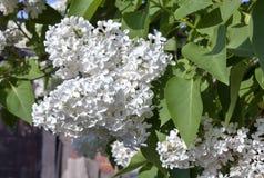 Delikatny biały bez na zamazanym natury tle Zdjęcie Royalty Free