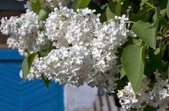 Delikatny biały bez na zamazanym natury tle Zdjęcia Royalty Free