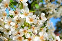 Delikatny biel Kwitnie w kwiacie Obraz Royalty Free