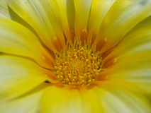 Delikatny gazania kwiat Zdjęcie Stock