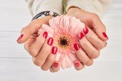 Delikatny gerbera w kobiety robić manikiur rękach Zdjęcia Stock
