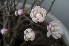 Delikatny i piękny kolor magnolia Obrazy Royalty Free