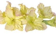 Delikatny kolor żółty z różowym gladiolusem kwitnie zamknięty up, odosobniony na a obrazy stock