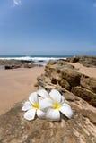 delikatny kwiatów frangipani plumeria zdroju biel Zdjęcie Stock