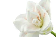 Delikatny kwiat bielu i menchii amarylek Fotografia Royalty Free