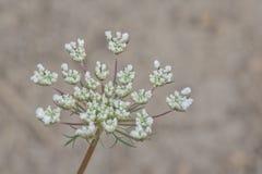 Delikatny kwiat królowej Anne koronka Z Szarym Backgound Obraz Royalty Free