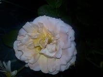 Delikatny kwiat od bukieta Fotografia Royalty Free