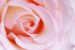 Delikatny menchii róży zakończenie up Zdjęcie Royalty Free