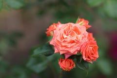 Delikatny, menchii róża Obraz Stock