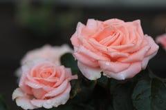 Delikatny, menchii róża Zdjęcie Stock