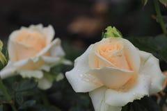 Delikatny, menchii róża Obraz Royalty Free