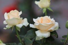 Delikatny, menchii róża Fotografia Stock