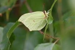 Delikatny motyl na liściu obraz stock