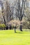 Delikatny ornamentacyjny drzewny jaśnienie w świetle słonecznym na trawa terenie, pierwszy plan Obrazy Stock