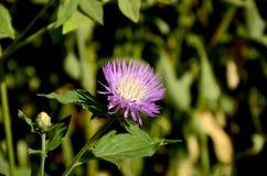 Delikatny purpur i białego kwiat na ranku słońcu Fotografia Royalty Free