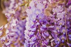 Delikatny purpura kwiat Ashikaga zdjęcie royalty free