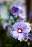 Delikatny purpura kwiatu bokeh Zdjęcie Royalty Free