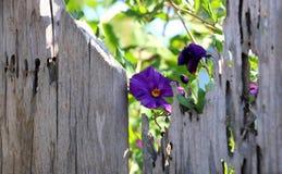 Delikatny purpurowy ranek chwały winograd na starym palika ogrodzeniu Obrazy Stock
