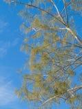 Delikatny pustynny drzewo w Południowo-zachodni usa Fotografia Royalty Free