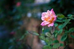 Delikatny róża kwiatu bokeh obrazy royalty free