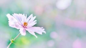 Delikatny różowy cosme stokrotki kwiat na pięknym tle kosmos kopii zdjęcie stock